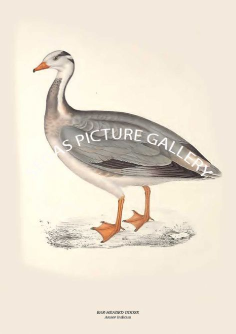 Fine art print of the BAR-HEADED GOOSE - Anser Indicus by John Gould (1831) reproduced by Segas Picture Gallery.
